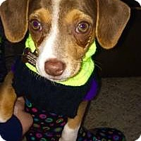 Adopt A Pet :: Augie - Marlton, NJ