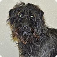 Adopt A Pet :: Sable - Port Washington, NY