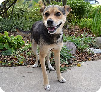 Beagle/Shepherd (Unknown Type) Mix Dog for adoption in Michigan City, Indiana - Walter