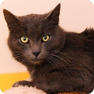 Domestic Shorthair Cat for adoption in Brimfield, Massachusetts - Mist