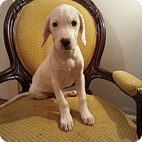 Adopt A Pet :: Shera - Gaithersburg, MD