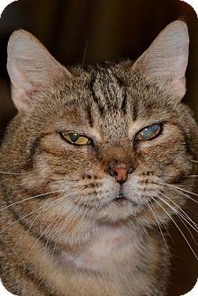 Domestic Shorthair Cat for adoption in Glendale, Arizona - Sauerkraut