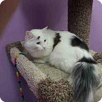 Domestic Mediumhair Cat for adoption in Olivette, Missouri - MAUDE