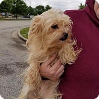 Adopt A Pet :: Blondie - Valparaiso, IN