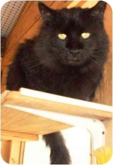 Domestic Longhair Cat for adoption in Chesterland, Ohio - Arnie