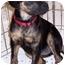 Photo 2 - Labrador Retriever/Boxer Mix Dog for adoption in Olive Branch, Mississippi - A.J.-Almond Joy