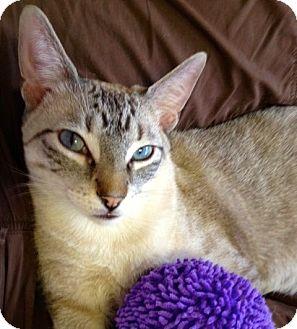Siamese Cat for adoption in Fountain Hills, Arizona - GINSU
