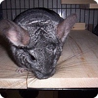 Adopt A Pet :: Gibby - Avondale, LA