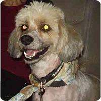 Adopt A Pet :: Gino - Miami, FL