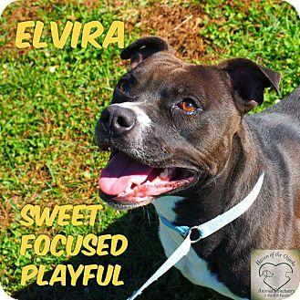 Pit Bull Terrier Mix Dog for adoption in Washburn, Missouri - Elvira