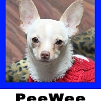 Chihuahua Dog for adoption in Plano, Texas - PeeWee