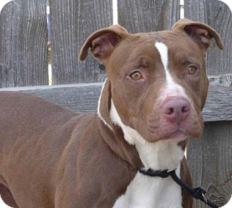 Pit Bull Terrier Mix Dog for adoption in Evans, Colorado - Penny