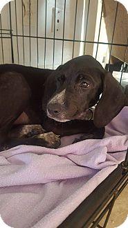 Hound (Unknown Type)/Pointer Mix Puppy for adoption in loxahatchee, Florida - Pumpkin