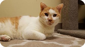 Domestic Mediumhair Cat for adoption in Balto, Maryland - Marvin