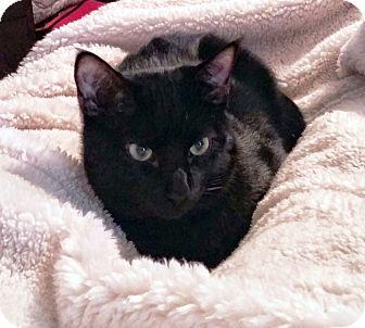 Domestic Shorthair Kitten for adoption in Arlington/Ft Worth, Texas - Swiper