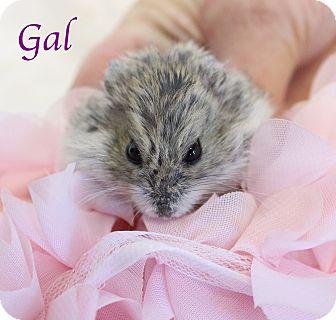 Hamster for adoption in Bradenton, Florida - Gal