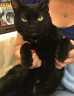 Burmese Cat for adoption in Sarasota, Florida - Nina