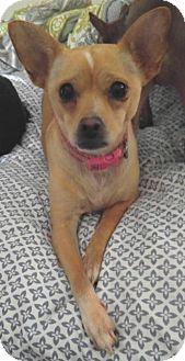 Italian Greyhound/Chihuahua Mix Dog for adoption in Los Angeles, California - Elsa