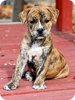 American Pit Bull Terrier Mix Puppy for adoption in Windermere, Florida - Sinbad