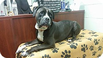 American Bulldog Mix Dog for adoption in Long Beach, New York - Shadow