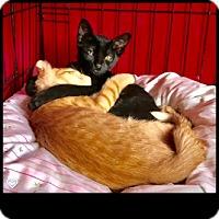 Domestic Shorthair Kitten for adoption in Fallbrook, California - Leonardo