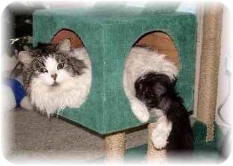 Domestic Longhair Cat for adoption in Lethbridge, Alberta - Meowsers