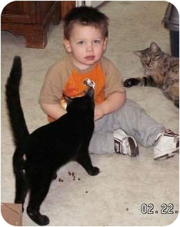 Domestic Shorthair Cat for adoption in Milford, Ohio - Maynard