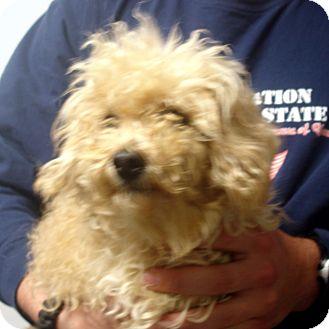 Toy Poodle Dog for adoption in Greencastle, North Carolina - cocomo