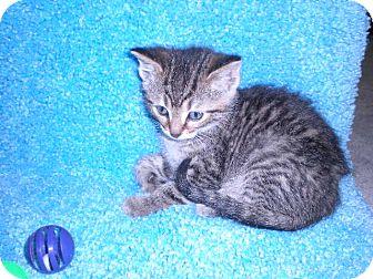 "Domestic Shorthair Kitten for adoption in New Castle, Pennsylvania - "" Cricket """
