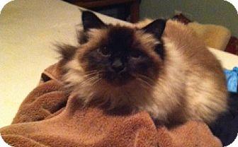 Birman Cat for adoption in Bentonville, Arkansas - Benz