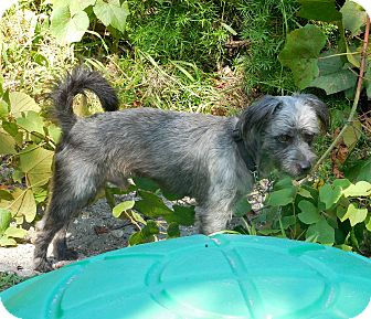 Terrier (Unknown Type, Small)/Schnauzer (Miniature) Mix Dog for adoption in Ormond Beach, Florida - Terry