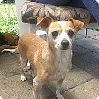 Adopt A Pet :: Ginger - Burbank, CA