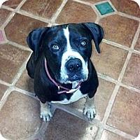 Adopt A Pet :: Sprocket-Courtesy Posting - Phoenix, AZ
