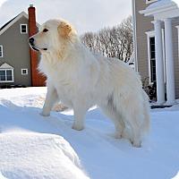 Adopt A Pet :: Prince Nikon - New Canaan, CT