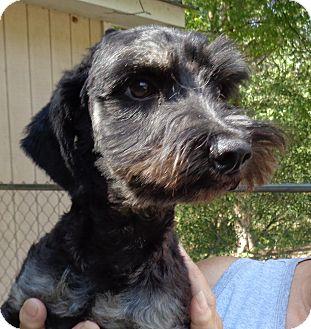 Dachshund/Miniature Schnauzer Mix Dog for adoption in Crump, Tennessee - charlie