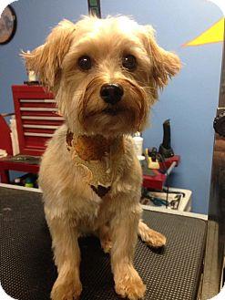 Silky Terrier Dog for adoption in Mount Gretna, Pennsylvania - Bobbie Jo