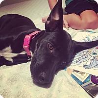 Adopt A Pet :: Kimber - Eastpointe, MI