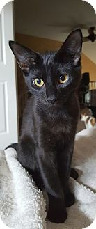 Domestic Shorthair Kitten for adoption in Hillside, Illinois - Wolfie-5 MONTHS