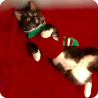 Domestic Shorthair Kitten for adoption in Long Beach, New York - Biscuit