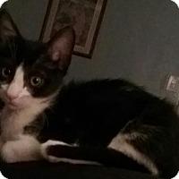 Adopt A Pet :: Abraham - Glendale, AZ