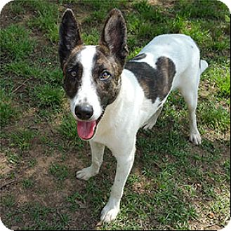 Border Collie/German Shepherd Dog Mix Dog for adoption in Shreveport, Louisiana - Gumbeaux