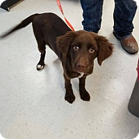 Adopt A Pet :: Brit-pending adoption - Manchester, CT