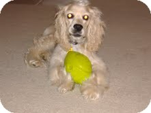 Cocker Spaniel Mix Dog for adoption in Homewood, Alabama - Marley