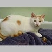 Domestic Shorthair Cat for adoption in Pittsboro, North Carolina - Charlie