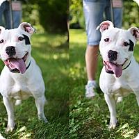 Adopt A Pet :: Cora - Springfield, IL