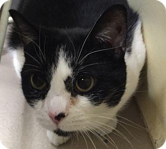 Domestic Shorthair Cat for adoption in Granby, Colorado - Henrietta