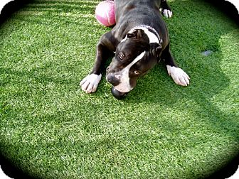 American Pit Bull Terrier Mix Dog for adoption in Radium Springs, New Mexico - Mickey