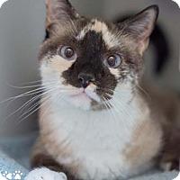 Adopt A Pet :: Tootsie - Merrifield, VA