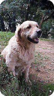 Golden Retriever Dog for adoption in Washington, D.C. - Harry