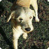 Terrier (Unknown Type, Small) Mix Dog for adoption in Cat Spring, Texas - Lemmy*